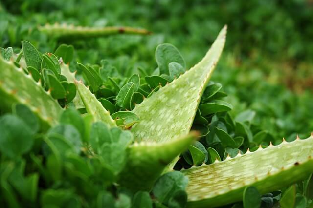 Rimedio per Emorroidi: Aloe